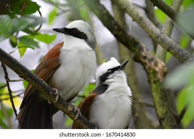 beautiful exotic birds Bibel crested on a branch