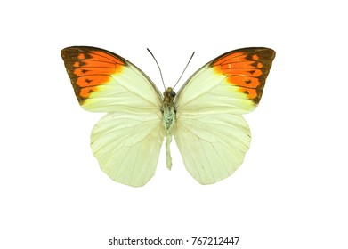 Beautiful exotic colorful Hebomoia Leucippe butterfly isolated on white background