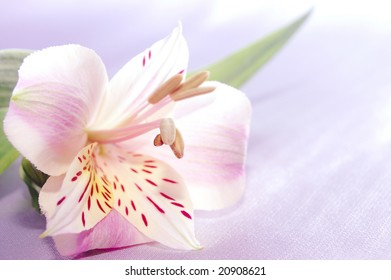 beautiful exotic lilly on bright background