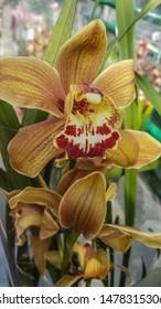 beautiful exotic orchid flowers phalaenopsis, cymbidium grown in a greenhouse