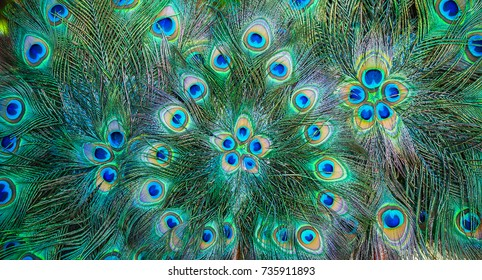 Beautiful exotic peacock feathers background. Peacock pattern green and blue.