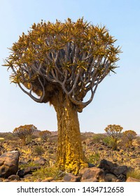 Beautiful exotic quiver tree in rocky and arid Namibian landscape