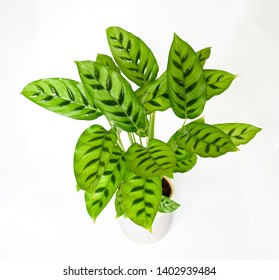 Beautiful exotic tropical plant Calathea Zebrina Marantaceae or Prayer Plant striped bright green leaf  growing in white pot on white background isolated. concept plant for decor indoor.
