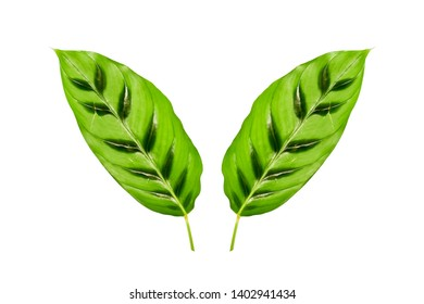 Beautiful exotic tropical plant Calathea Zebrina Marantaceae or Prayer Plant striped bright green leaf  on white background isolated and path. concept plant for decor indoor.