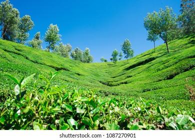Assam Tea Garden Images, Stock Photos & Vectors | Shutterstock