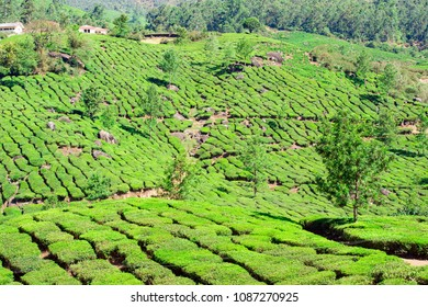 Beautiful expanse of green tea plantations at sunset, grown in terraces on the hills of Darjeeling. India.
