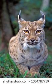 Beautiful eyes of an European Lynx, sitting , portrait closeup