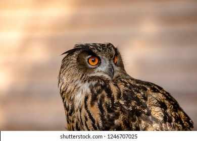 Beautiful eyes have this young eagle owl lady