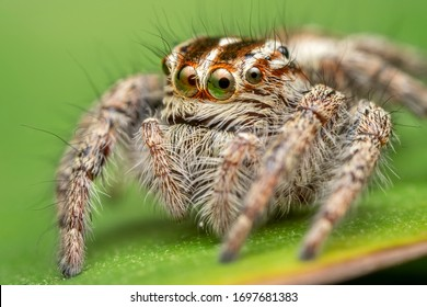 The beautiful eyes of the jumping spider