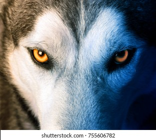 Beautiful eyes of a wild wolf