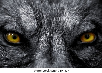 beautiful eyes of a wild wolf: dangerous mammal