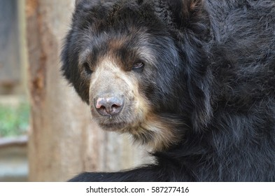 Beautiful face of a black bear in the wild.