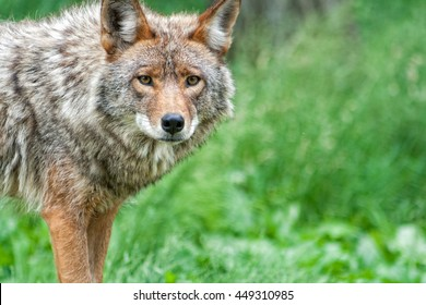 The beautiful face and colors of a coyote.
