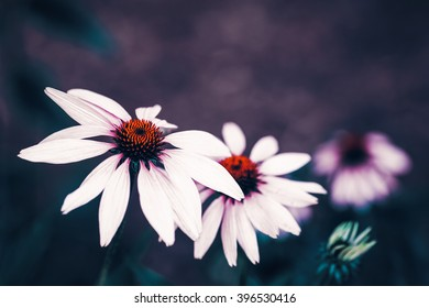Beautiful fairy dreamy magic white daisy flowers with dark green  leaves, retro vintage color, soft selective focus, copyspace for text, close-up macro shot