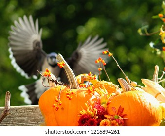 Beautiful fall depth of field shot with a bouquet of pumpkins,flowers and bittersweet in the foreground and blue jay with its wings spread wide open coming in for a landing.