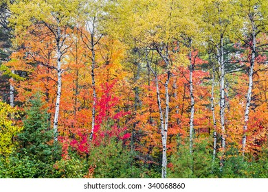 Beautiful fall foliage colors the woods of northern Michigan.