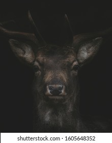 a beautiful fallow buck portrait