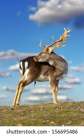 beautiful fallow deer buck ( dama dama ) standing on top of the hill over blue sky background