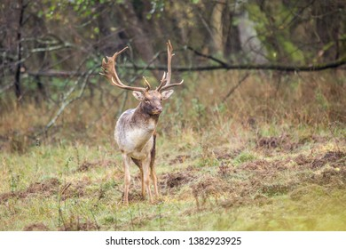 Beautiful fallow deer male (dama dama) in autumn forest.