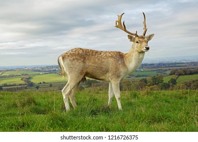 Beautiful Fallow deer stag, dama dama, lovely profile over looking the Gloucestershire countryside, England, UK