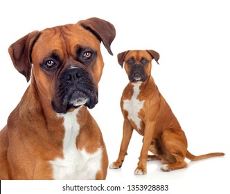 Beautiful family of boxer dogs looking at camera