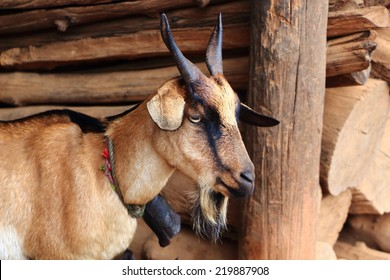 Beautiful family of goats in the village. A goat with kids. Animal in Chiangmai Province, Northern Thailand.