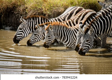 Beautiful family of Plains Zebra - Scientific name: Equus quagga - cautiously drinking water from the River