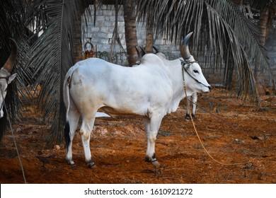 jallikattu images stock photos vectors shutterstock https www shutterstock com image photo beautiful famous tamilnadu jallikattu kangayam pillai 1610921272