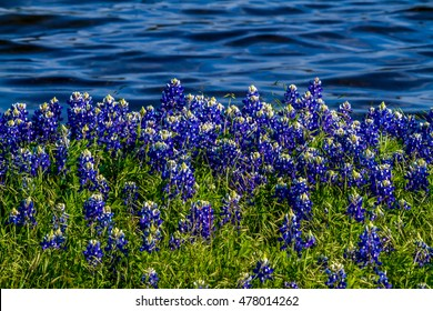 Beautiful Famous Texas Bluebonnet (Lupinus texensis) Wildflowers  at Muleshoe Bend with the Blue Waters of Lake Travis in Texas.