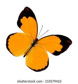 Beautiful Fancy Orange Butterfly (Small Grass Yellow) isolated on white background