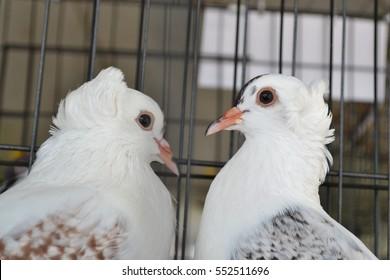 Fancy Pigeon Images, Stock Photos & Vectors | Shutterstock
