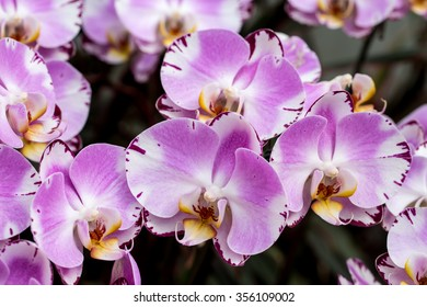 Beautiful Farland orchid in tropical garden.