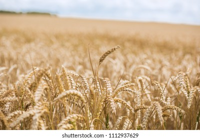 A beautiful farmers wheat corn field harvest, close up shot of the wheat plant. summer harvest. photographed with a shallow depth of field.