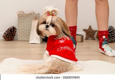 beautiful fashionable shih tzu dog wearing a red christmas sweater