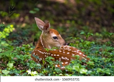 Beautiful fawn that looks like Bambi resting in the forest.