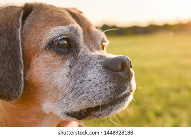 A beautiful fawn, white and black puggle with big brown eyes looking off to the side thinking about food