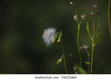 beautiful feather dandelion background