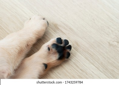 Beautiful feet of Labrador Retriever Puppy on laminate wood background. Labrador Retriever Portrait sleeping in living room. Cute puppy dog resting at home sweet home.