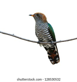 A beautiful female Asian Emerald Cuckoo on white background.(Chrysococcyx maculatus)