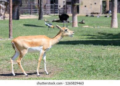 beautiful female blackbuck (Antilope cervicapra) standing on ground