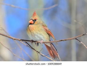Beautiful female cardinal in winter