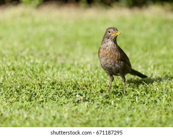 Beautiful female common blackbird close up (turdus merula)