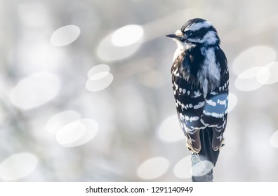 Beautiful female downy woodpecker bird from Kentucky basking on a pole in the warm sun, on a cold winters day with round light bokeh all around January 2019 nature photography.