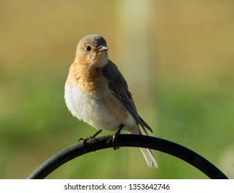 Beautiful female Eastern Bluebird sitting on a shepherd's hook in early morning sun