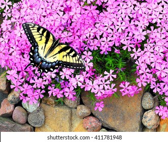 A beautiful female Eastern Tiger Swallowtail Butterfly (Papilio glaucus) at pink creeping phlox.