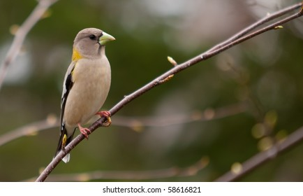 A beautiful Female Evening Grosbeak - Coccothraustes vespertinus - perched on a branch, Quebec, Canada