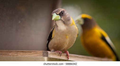 A beautiful Female Evening Grosbeak - Coccothraustes vespertinus - with colorful male in bakground, Quebec, Canada