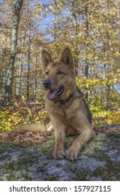 Beautiful female German shepherd laying on a rock in the woods on a beautiful autumn day