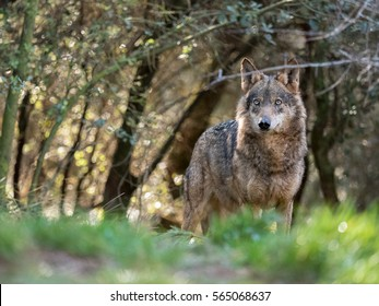 Beautiful female iberian wolf (Canis lupus signatus) in a enchanted forest