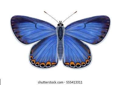 A beautiful Female Karner Blue butterfly (Lycaeides Melissa samuelis) illustrated by Steven Russell Smith.